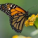 A San Antonio businessman's call to help monarch butterflies thrive along I-35