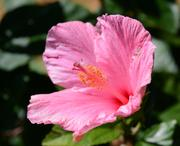 A hibiscus blooms in the afternoon sun.