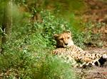 Zoo puts cheetah facility plans on hold