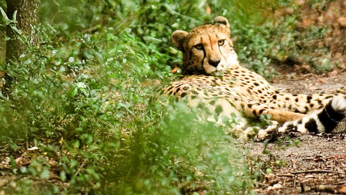 Cincinnati Zoo changes suburban cheetah center plans