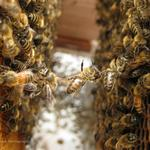 Wendy Culverwell: Portland delivers a big break to bees