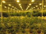 Medical marijuana maker Leafline loses two top executives