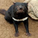 Saint Louis Zoo plans new habitats for Tasmanian Devils, bears
