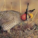 Kansas delegation votes against protection for lesser prairie chicken