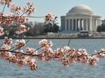 Here's when D.C.'s cherry blossoms will be in peak bloom