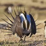 Interior Department decides fate of greater sage-grouse