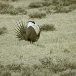 Colorado sounds off on greater sage-grouse decision