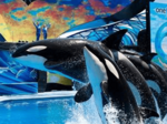 SeaWorld to end all orca breeding, phase out shows