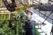 Workers remove vines and leaves from harvested hops before heading to the drying kiln at Rogue Farms.