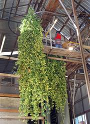 Once in the drying barn, hops are divided by variety and separated from their vines.