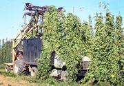 In peak growing season hop plants can grow as quickly as a foot per day.