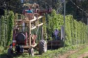 A harvester cuts hop vines at Rogue Farms in the Oregon town of Independence.