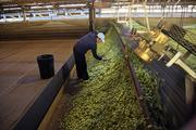 Workers pick through hops to remove any branch and leaf remnants before the drying process is finished.