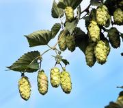 It takes hop plants three years to fully mature for harvest.