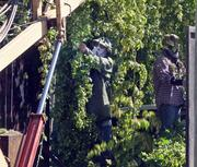 This year's harvest marks Rogue's sixth season growing hops in the Willamette Valley.