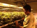 Feds won't snuff out Colorado pot industry