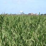 Alexander & Baldwin to establish new grass-fed cattle operation on HC&S plantation