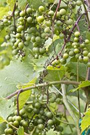 La Crescent Grapes at Eldchrist Winey.