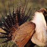 Oregon in line for share of $211M for sage grouse protection