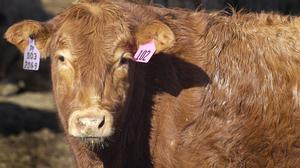 High-end cattle ranchers considering options for local slaughterhouse
