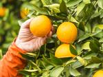 Florida citrus forecast improves but 'trying times' remain