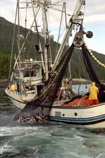 Fishing fleet swamped with record catch of Alaska pink salmon