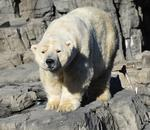 RIP, polar bear Gus, you were money in the bank for the Central Park Zoo
