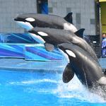 SeaWorld's last new orca to be born at San Antonio theme park