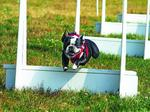 Triad Dog Games fundraiser set for May 14-15