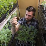 Growing soon in Austin: Medical marijuana, bound for those with rare form of epilepsy