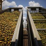 Florida's orange crop drops 16 percent